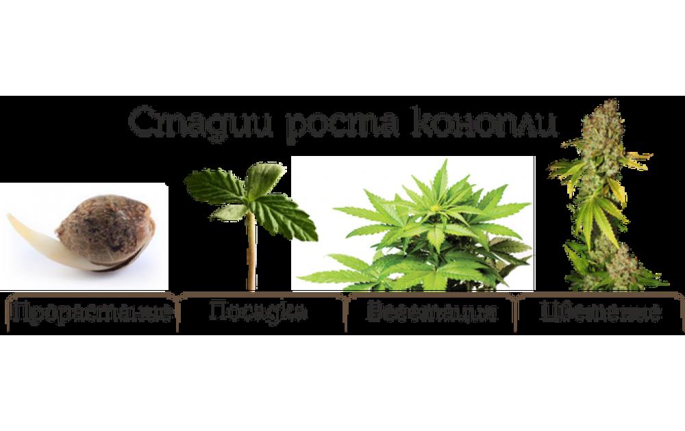 Продолжительность цветения марихуаны конопля из семечек