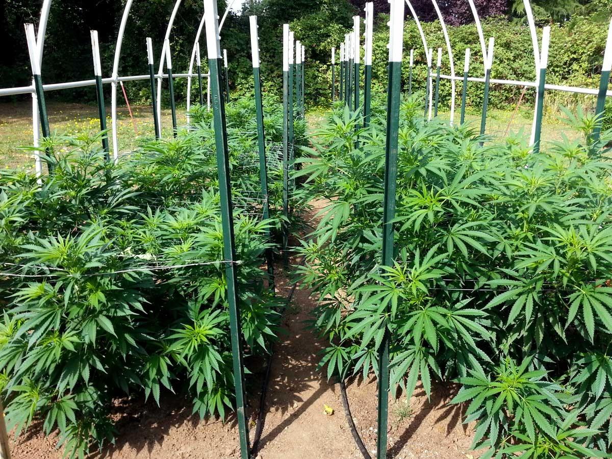 Как посадить марихуану на открытом грунте конопля физиология