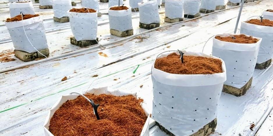 Конопля на кокосовом субстрате чай эффектом марихуаны